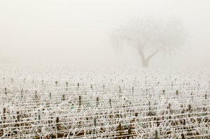 Clos des Vergennes, too cold for pruning.