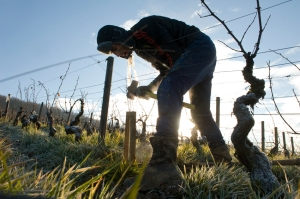 planting new vins in Charlemagne