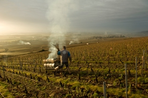 burning the prunings in Corton