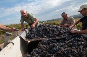 Claude(L) and Maurice Chapuis checking out the crop in Corton Clos du Roi