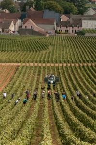 Harvest in Vosne-Romanée's La Tâche.