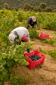 Out in the vines the team of another Perez is hard at it.