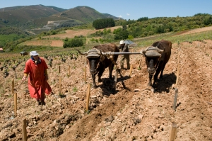 Spring ploughing in Bierzo !