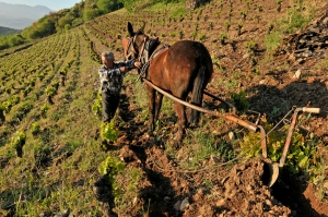 Early morning ploughing in Ricardo Perez Palacios's Corullon vineyard in Bierzo