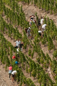 Start of harvest in Guigal's La Turque in Côte Rôtie