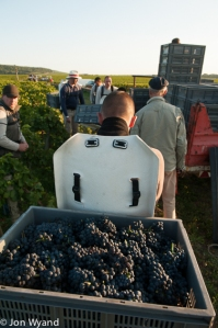 The first grapes from Romanée Conti are on their way.